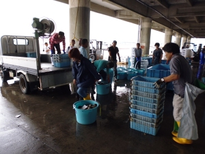 Team effort - fishers, cooperative administrators and prefectural scientists unloacl a trial catch.